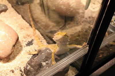 台灣昆蟲館-蜥蜴