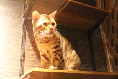 台灣昆蟲館-豹貓