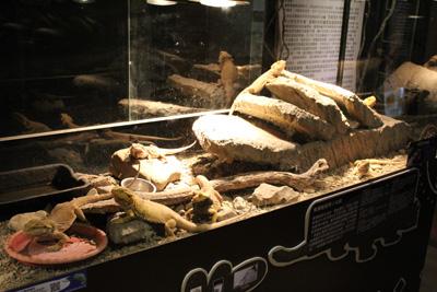 台灣昆蟲館-鬃獅蜥