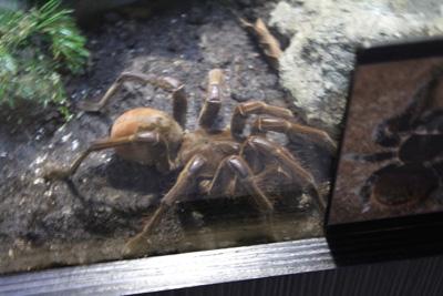 台灣昆蟲館-蜘蛛