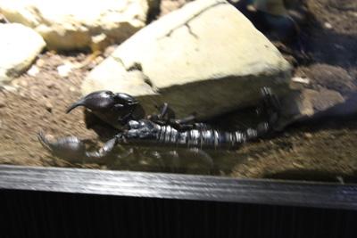 台灣昆蟲館-蠍子